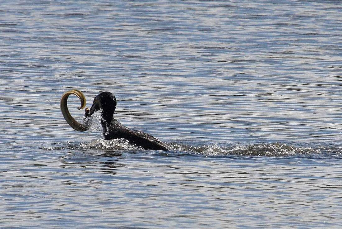 Histoire du cormoran trop gourmand
