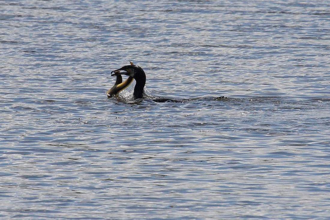 Histoire du cormoran vraiment trop gourmand