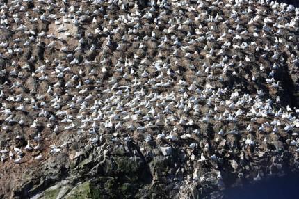 Colonie de fous de bassan des 7 iles