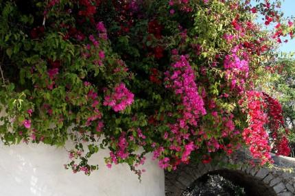 Bougainvillier de Naoussa  1 (Paros)