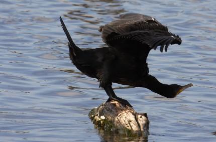 Grand cormoran (hydravion)
