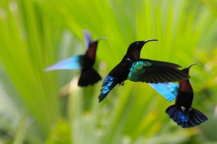 Colibris de Balata (Martinique)