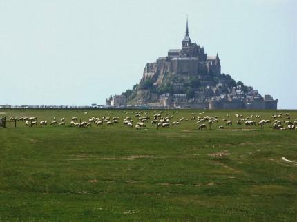 Moutons de prés salés de la baie du mont St Michel