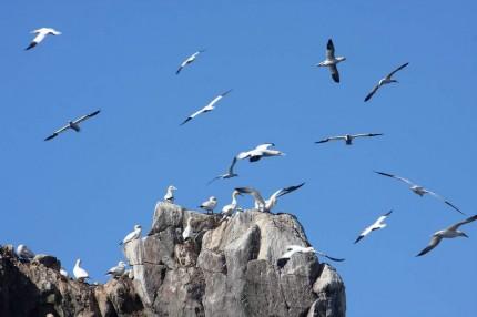 La colonie de fous de bassan des 7 iles (1)