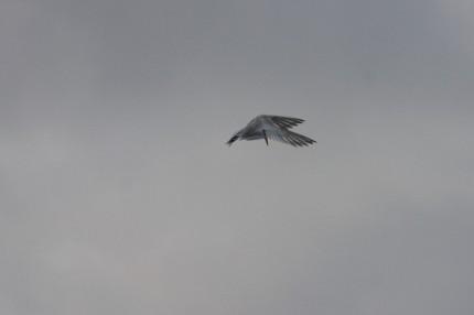 Sterne-en-chasse–Pointe-des-chateaux
