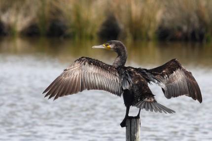 Cormoran-retour-de-pêche-au-séchage