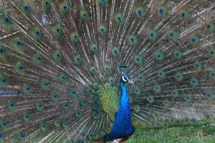 Paon bleu en parade