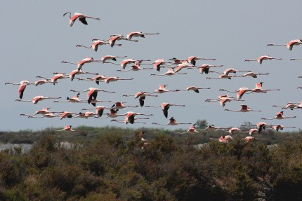 Vol de flamants en Camargue